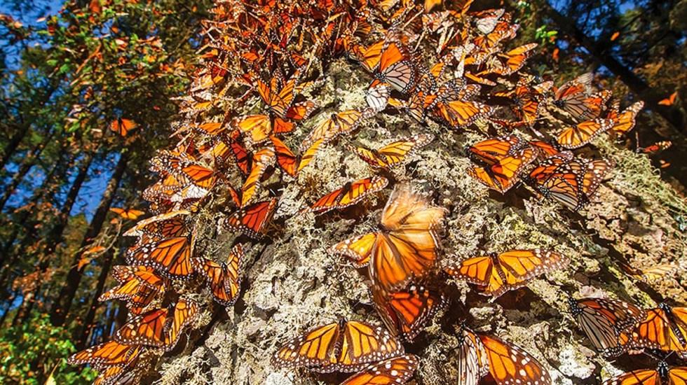 Cae 26% presencia de mariposas monarca en santuarios de México